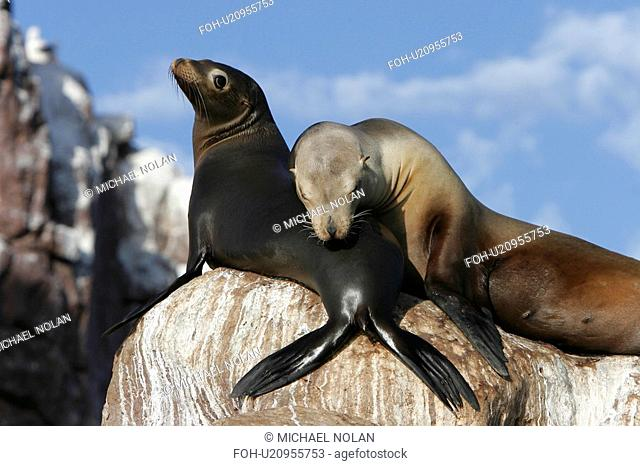 California Sea Lion Zalophus californianus mother and pup hauled out at Los Islotes in the Gulf of California Sea of Cortez, Mexico