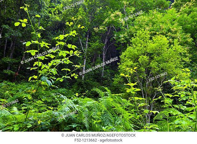 Laurel forest, Barranco Cubo de La Galga, La Galga, La Palma, Canary Islands, Spain