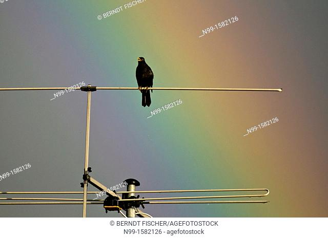 Blackbird Turdus merula sitting and singing on television, in front of rainbow, Bavaria, Germany