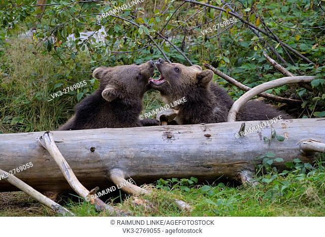 Brown Bear, Ursus arctos, Cubs playing, Bavaria, Germany