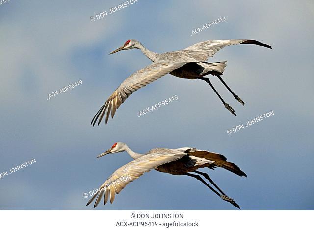 Sandhill crane (Grus Canadensis) Autumn migrants landing in a farmer's field, Mindemyoa, Manitoulin Island, Ontario, Canada
