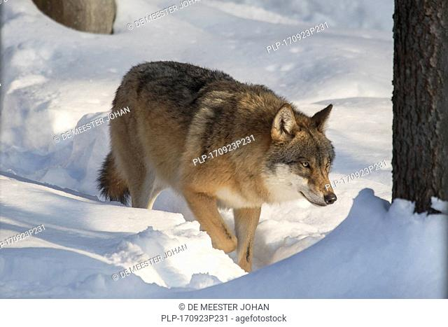 Solitary gray wolf / grey wolf (Canis lupus) hunting in the snow in forest in winter
