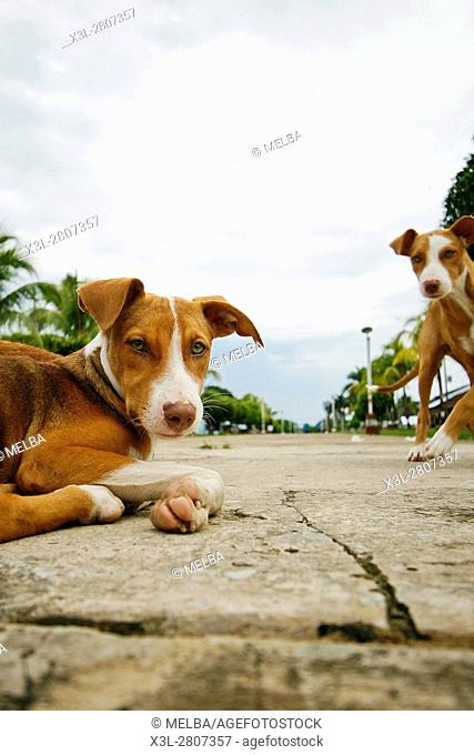 Dogs in Angamos. Amazon. Peru
