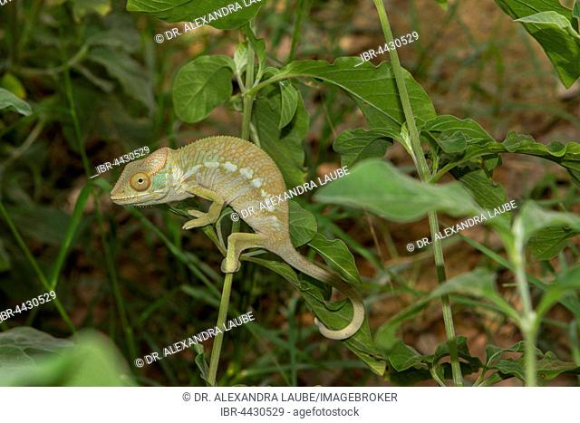 Panther chameleon (Furcifer Pardalis), male, juvenile, between Ambilobe and Sirama, Northwestern Madagascar, Madagascar