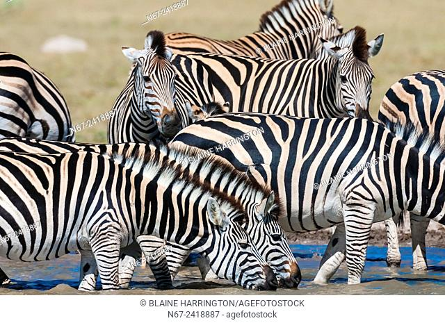 A herd of zebra at a watering hole, Nxai Pan National Park, Botswana