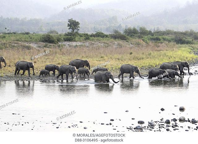 Asia, India, Uttarakhand, Jim Corbett National Park, Asian or Asiatic elephant (Elephas maximus), group drinking