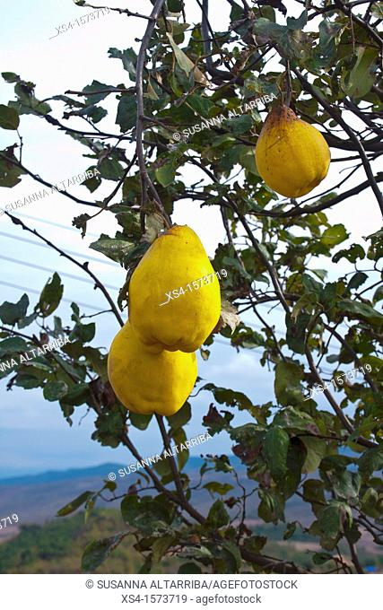 Cydonia oblonga. Quince, photo take in Pinos, Lleida, Catalonia, Spain, Europe
