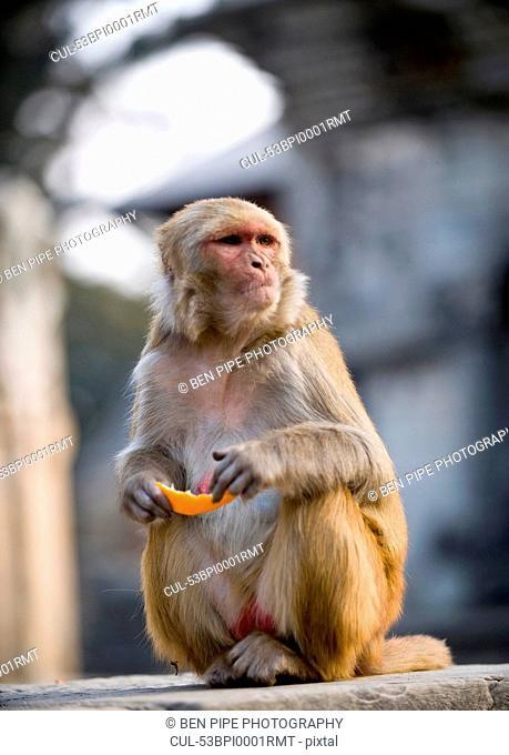 Monkey eating piece of fruit