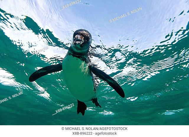 Adult Galapagos penguin Spheniscus mendiculus hunting fish underwater in the Galapagos Island Group, Ecuador  This is the only species of penguin in the...