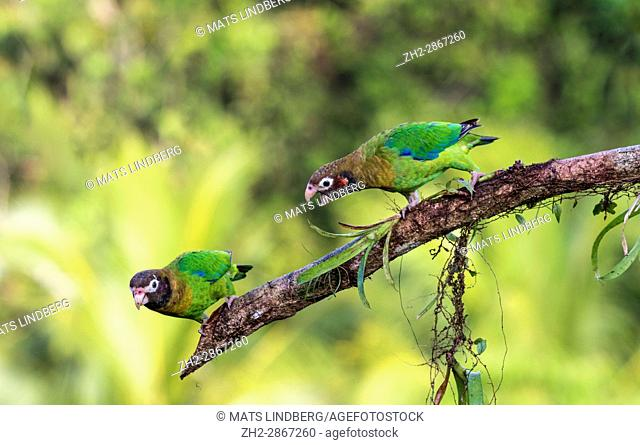 """Two Brown-hooded parrot, Pyrilia haematotis, sitting in a tree, one is """"""""talking""""""""to the other, at Laguna del Lagarto, Boca Tapada, San Carlos, Costa Rica"""