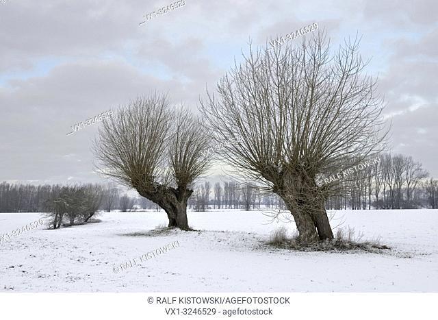 Old pollard willows ( Salix sp. ) on a frosty winter morning on snow covered farmland, Lower Rhine region, North Rhine Westfalia, Germany
