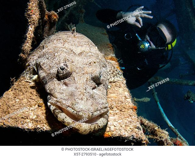 Beaufort's crocodile fish (Cymbacephalus beauforti). The flat body shape and colouration help it blend into the sea floor