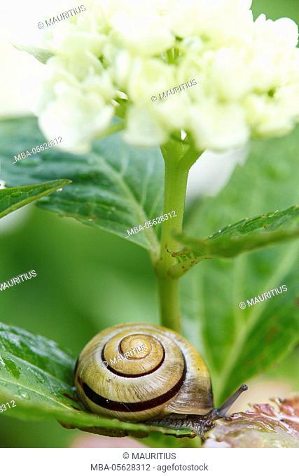 White-lipped snail, Cepaea hortensis, on hydrangea blossom