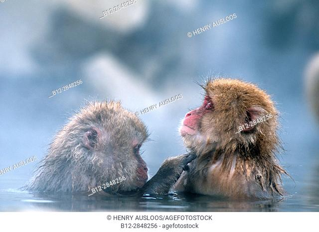 Japanese macaque or snow japanese monkey in onsen (Macaca fuscata),Japan