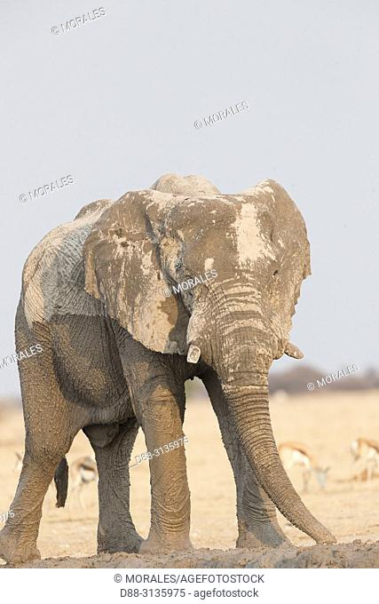 Africa, Southern Africa, Bostwana, Nxai pan national park, African bush elephant or African savanna elephant (Loxodonta africana), around a water hole