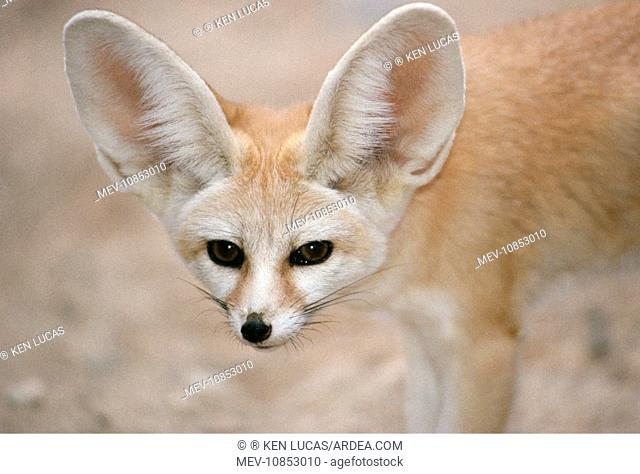 FENNEC FOX - close-up of head, facing camera (Fennecus zerda). Deserts North of the Sahara, Africa