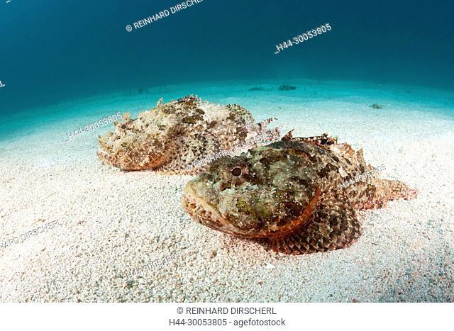 Pair of Pacific spotted Scorpionfish, Scorpaena mystes, La Paz, Baja California Sur, Mexico