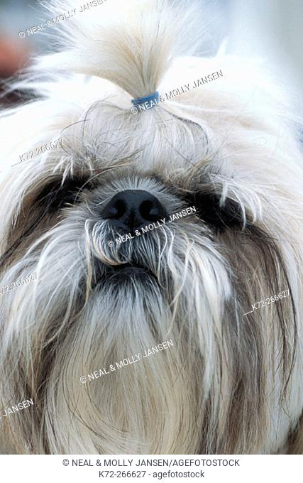 Shih Tzu dog originally from Tibet bred