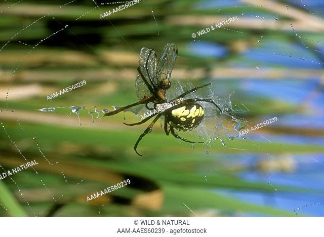 Black & Yellow Argiope Spider with Dragonfly Prey (Argiope aurantia)