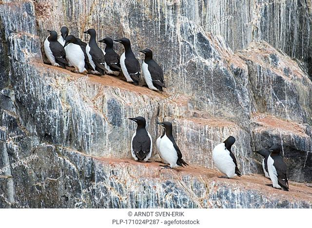 Thick-billed murres / Brünnich's guillemots (Uria lomvia) on rock ledge in sea cliff in seabird colony, Alkefjellet, Hinlopenstreet, Svalbard, Norway