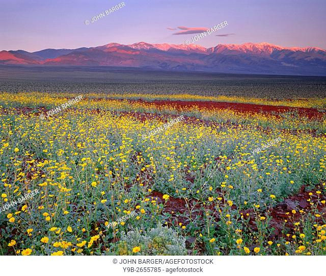 USA, California, Death Valley National Park, Desert sunflower blooms alongside colorful volcanic rock while sunrise light reddens the snow capped Panamint Range