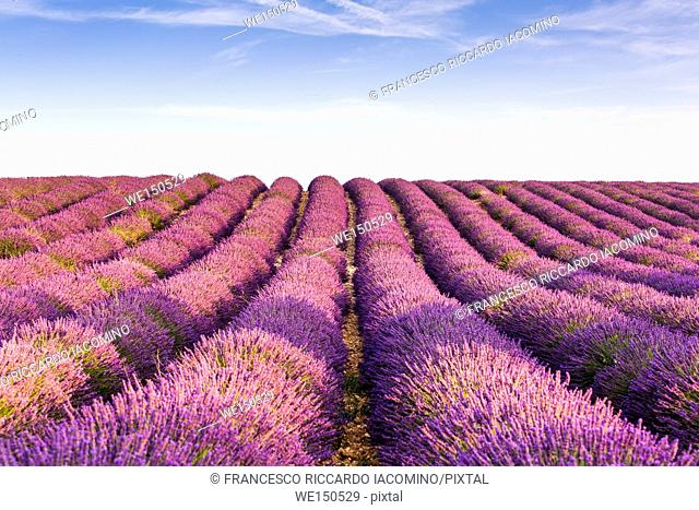 Provence, France, Europe. Purlple lavander fields full of flowers, natural light on a sunny summer day. Valensole Plateau