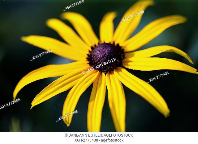 a fully open, feel good summer rudbeckia