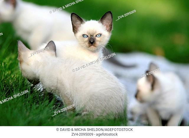 Close-up of seal point Birman kitten in a meadow