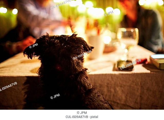 Dog peering over table
