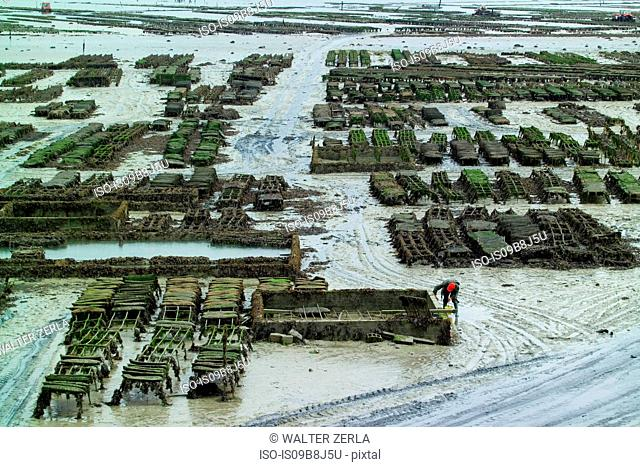Worker tending rows of oyster beds on beach mudflats, Saint-Malo, Brittany, France