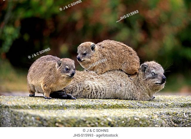 Rock Dassie, (Procavia capensis), mother with two youngs, Betty's Bay, Western Cape, South Africa, Africa