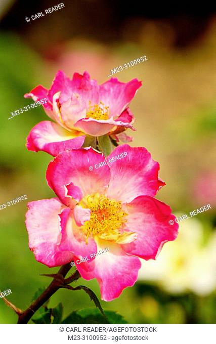 Two roses compete for sunlight, Pennsylvania, USA