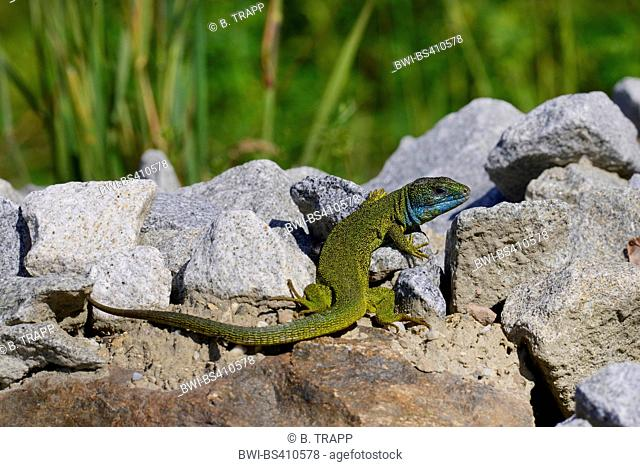 Eastern Green Lizard, European green lizard, Emerald lizard (Lacerta viridis, Lacerta viridis viridis), male on natural stones, Germany, Donauleiten