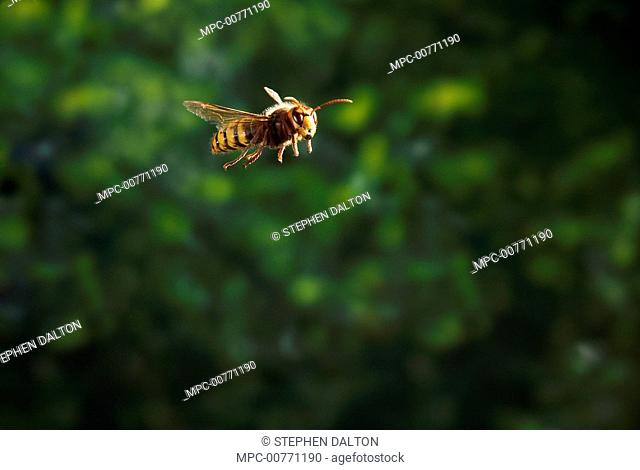 European Hornet (Vespa crabro) flying, Sussex, England