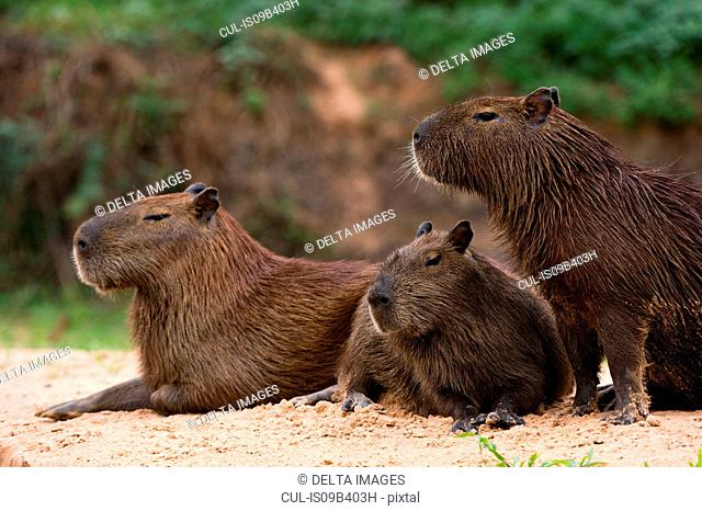Three capybara (Hydrochaeris hydrochaeris) on riverbank, Pantanal, Mato Grosso, Brazil