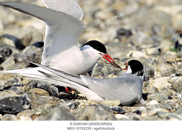 Arctic TERN - Greeting ceremony. Pair at nest, courtship feeding (Sterna paradisaea)