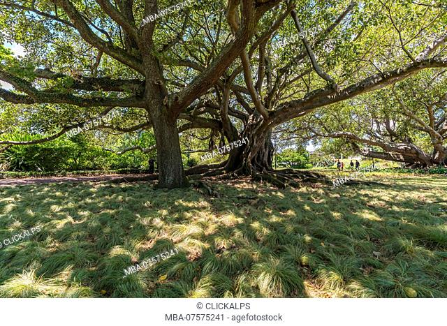 Moreton Bay Fig in Albert Park, Auckland City, Auckland region, North Island, New Zealand