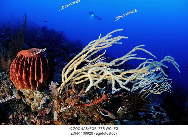 Xestospongia testudinaria und Ellisella ceratophyta, Taucher an buntem Korallenriff mit Tonnenschwamm und weisser Weichkoralle