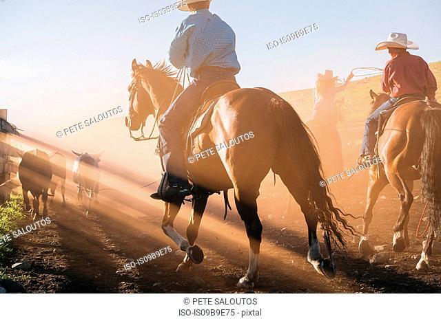 Cowboys on horses lassoing bull, Enterprise, Oregon, United States, North America