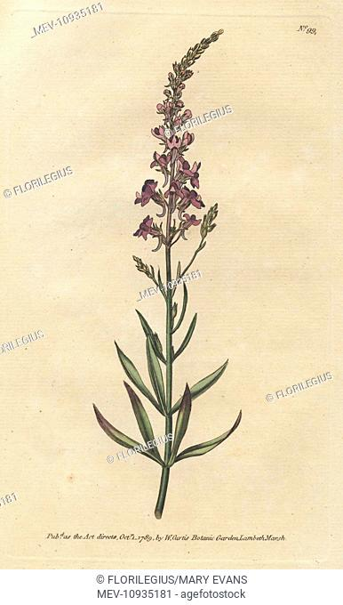Purple toad-flax, Linaria purpurea. Handcolored copperplate engraving from a botanical illustration from William Curtis's Botanical Magazine, Lambeth, London
