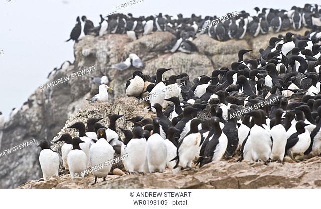 Wild Common Murres Uria aalge male and feamle, colony, hundreds of thousands, Tyuleniy Island Bering Sea, Russia, Asia