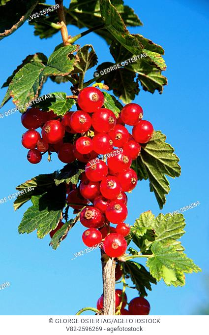 Red currants, Marion County, Oregon