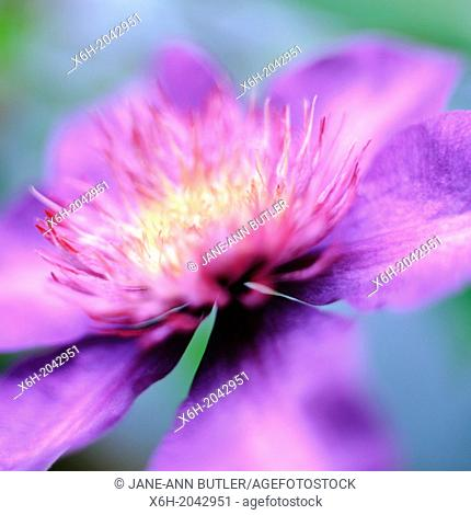 stunning clematis multi blue variety soft focus and contemporary in natural setting