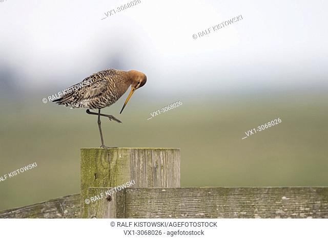 Black-tailed Godwit ( Limosa limosa), in breeding plumage, perched on a fence post in typical habitat, cleaning itself, wildlife, Europe