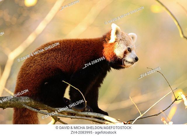 Red panda (Ailurus fulgens) on a bough in autumn