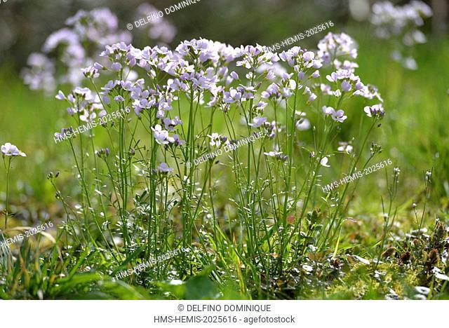 France, Doubs, Brognard, Cardamine meadows (Cardamine pratensis)