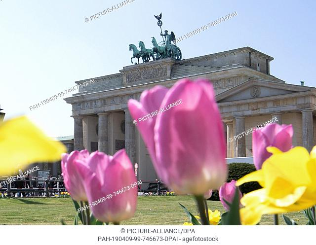 09 April 2019, Berlin: Tulips bloom against the backdrop of the Quadriga with Victoria, the goddess of victory, on the Brandenburg Gate