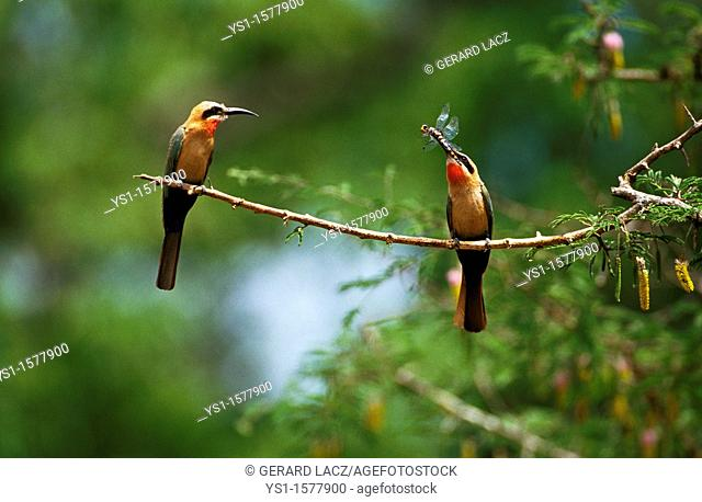 White Fronted Bee Eater, merops bullockoides, Adults standing on Branch, Dragonfly in Beak, Kenya