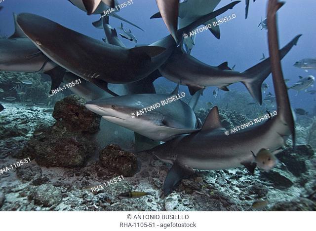 Caribbean reef shark Carcharhinus perezii during feeding frenzy, Roatan, Bay Islands, Honduras, Caribbean, Central America