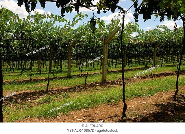Plantation of Grape, Bento Gonçalves, Rio Grande do Sul, Brazil